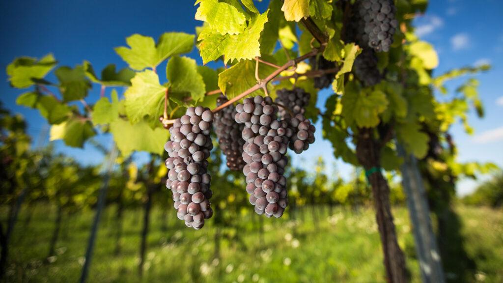 capa lavoura uva